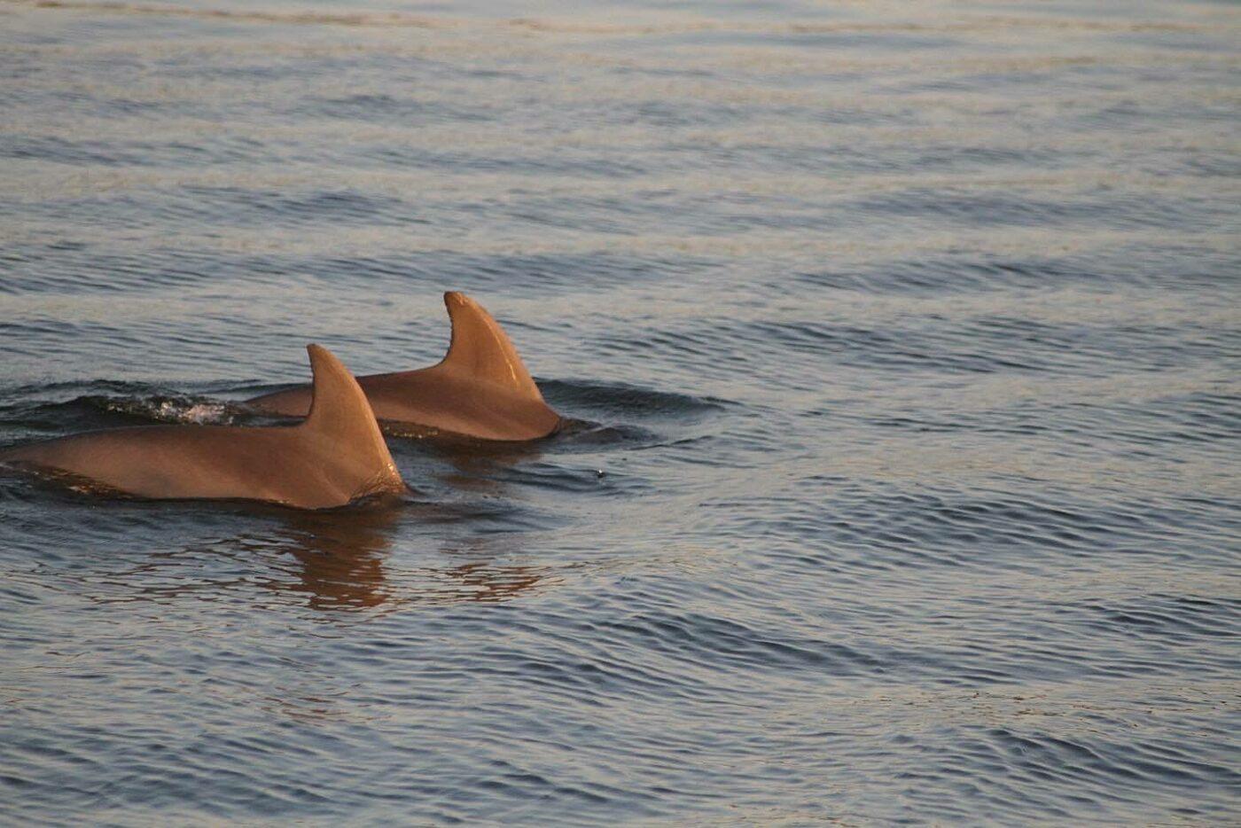 The Wharf Orange Beach Cetacean Cruises The Explorer Dolphin Sunset Cruise